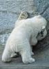 Eisbären Familie 17