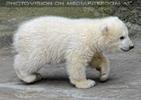 Eisbären Familie 18