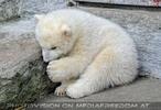 Eisbären Familie 19