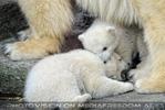 Eisbären Familie 23
