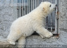Eisbären Familie 24