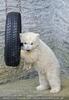 Eisbären Familie 25