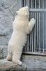 Eisbären Familie 26