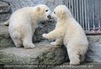 Eisbären Familie 27