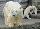 Eisbären Familie 28