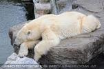 Eisbären Familie 29
