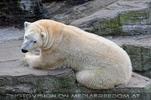 Eisbären Familie 31