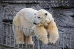 Eisbären Familie 33