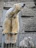Eisbären Familie 34