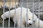 Eisbären Familie 35
