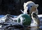 Eisbären Gaude 04