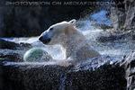 Eisbären Gaude 07
