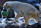 Eisbären Gaude 08