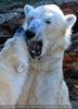 Eisbären Gaude 10