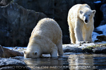 Eisbären Gaude 12