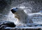 Eisbären Gaude 22