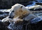 Eisbären Gaude 23