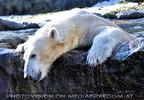 Eisbären Gaude 24