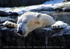 Eisbären Gaude 26