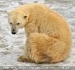 Eisbären im Schnee 01