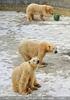 Eisbären im Schnee 02