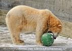 Eisbären im Schnee 03