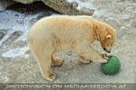 Eisbären im Schnee 09