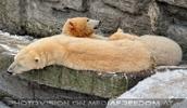 Eisbären im Schnee 16