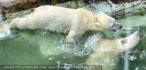 Eisbären Spaß