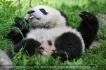 Pandababy Idylle