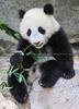Pandababy Mahlzeit
