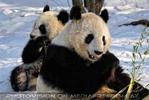 Große Panda Mahlzeit 02