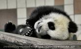 Kleiner gro�er Panda aufgewacht