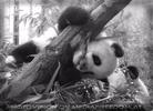 Pandababy kraxelt