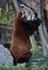 Fütterung roter Pandas 01