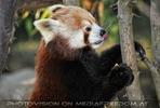 Fütterung roter Pandas 02