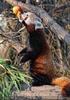 Fütterung roter Pandas 03
