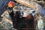 Fütterung roter Pandas 05