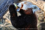Fütterung roter Pandas 06