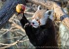 Fütterung roter Pandas 07