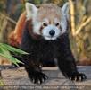 Fütterung roter Pandas 09
