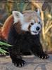 Fütterung roter Pandas 10