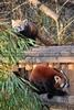 Fütterung roter Pandas 11