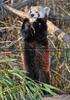 Fütterung roter Pandas 12