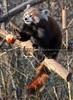 Fütterung roter Pandas 13