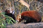 Fütterung roter Pandas 22
