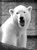 Gähnender Eisbär