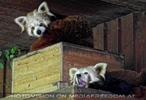 Gelangweilte rote Pandas