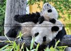 Große Panda Familie 09