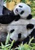 Große Panda Familie 10
